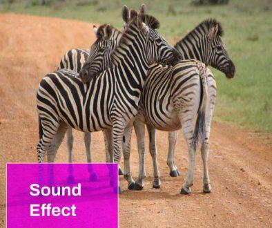 Burchell's Zebra (Equus Burchelli) Sound